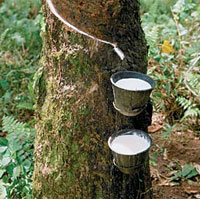 Latex Rubber Tree