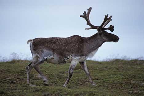 Caribou, Rangifer tarandus, Denali National Park, Alaska, USA.