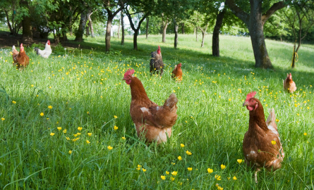 organic_chicken_eco_friendly