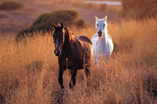 wild_horses-brown_white