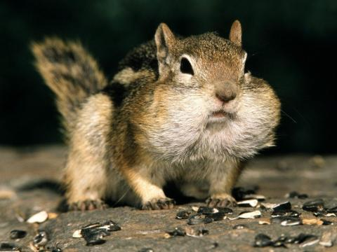 Squirrel looks like puffer fish